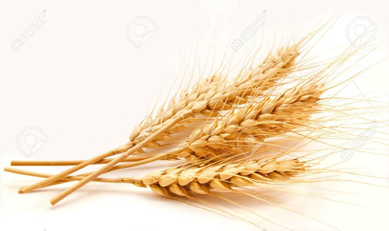 20745514-Espigas-de-trigo-aislado-en-un-fondo-blanco-Foto-de-archivo